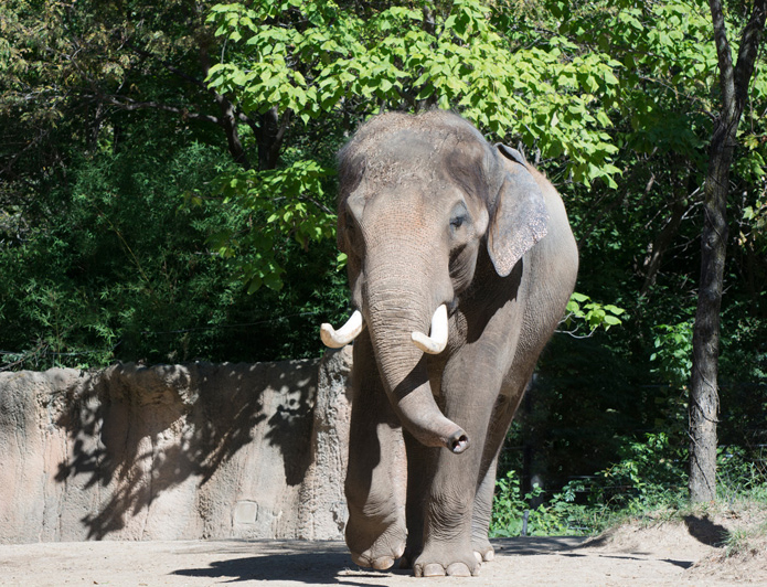 Weather freezes out St Louis Zoo elephants birthday bash Clayton