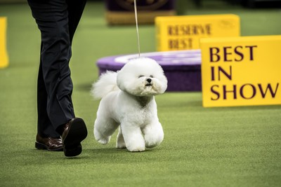 Release Bichon Frise For The Win Westminster Kennel Club Dog Show Crowns 11th Best In Show Champion In 12 Years Fueled By Purina Pro Plan Clayton Times